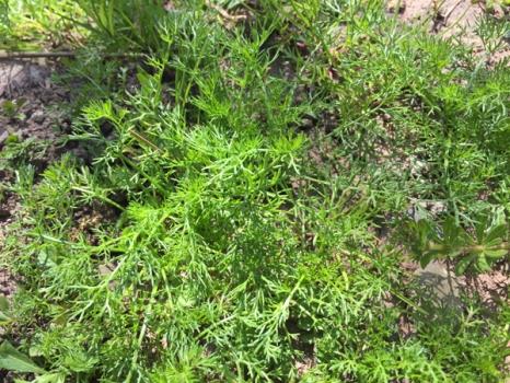Matricaria Discoidea Weed,matricaria Discoidea