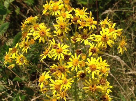 Jacobaea vulgaris - Wikipedia