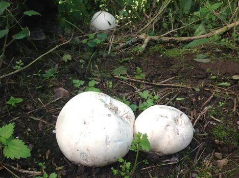 Giant Puff Ball, Langermannia gigantia, Calvatia gigantia ... Puffball Mushroom Smoke