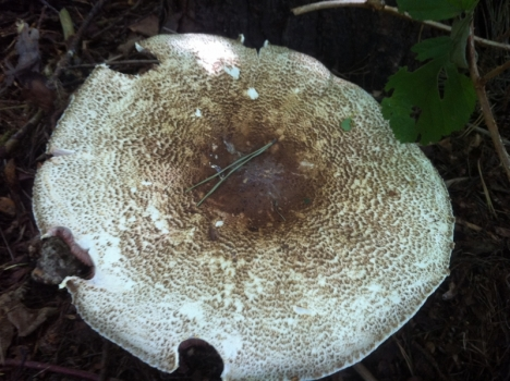 A big old Prince, Agaricus augustus, more than enough to feed several people on its own.