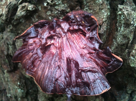 A Beefsteak fungus looking very much like an old piece of meat.