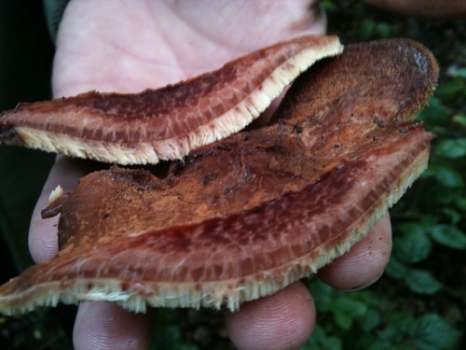 Beefsteak Fungus sliced showing its steak like qualities