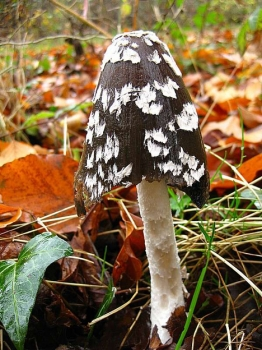 Magpie Fungus, Coprinus picaceus. Many thanks to Ditte Bandini for the photo.