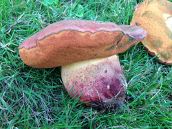 Blueing Bolete