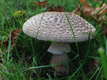 The Blusher, Amanita rubescens