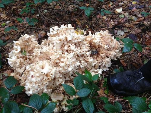 Cauliflower Fungus, Sprassis Crispa