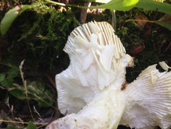 Flaked Gills Of A Russula