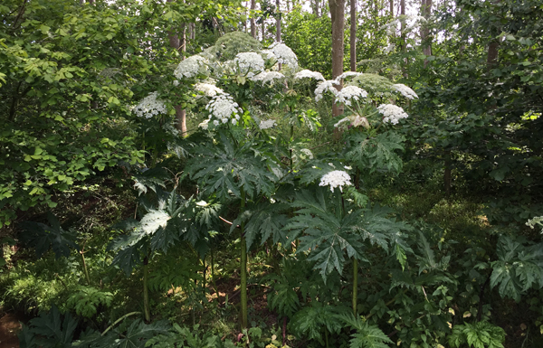 Giant Hogweed Identification