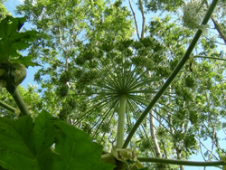 Giant Hogweed Flower