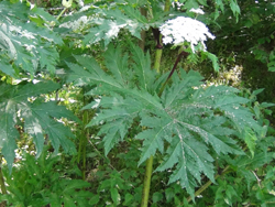 Giant Hogweed Leaves