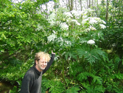 Giant Hogweed Size