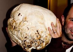 Giant Puffball, Calvatia gigantea