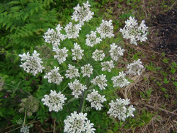 Common Hogweed Flower