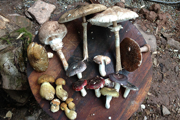 Wild Mushroom Guide