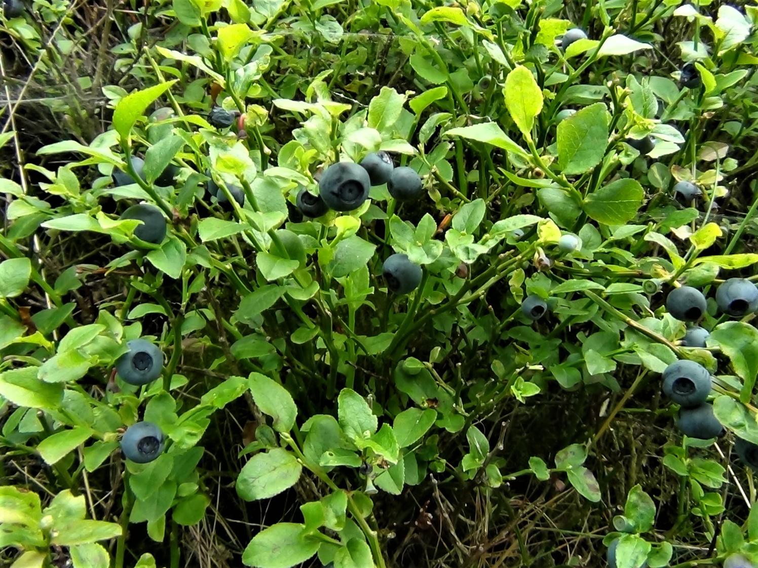 bilberry blaeberry whortleberry whinberry windberry myrtle