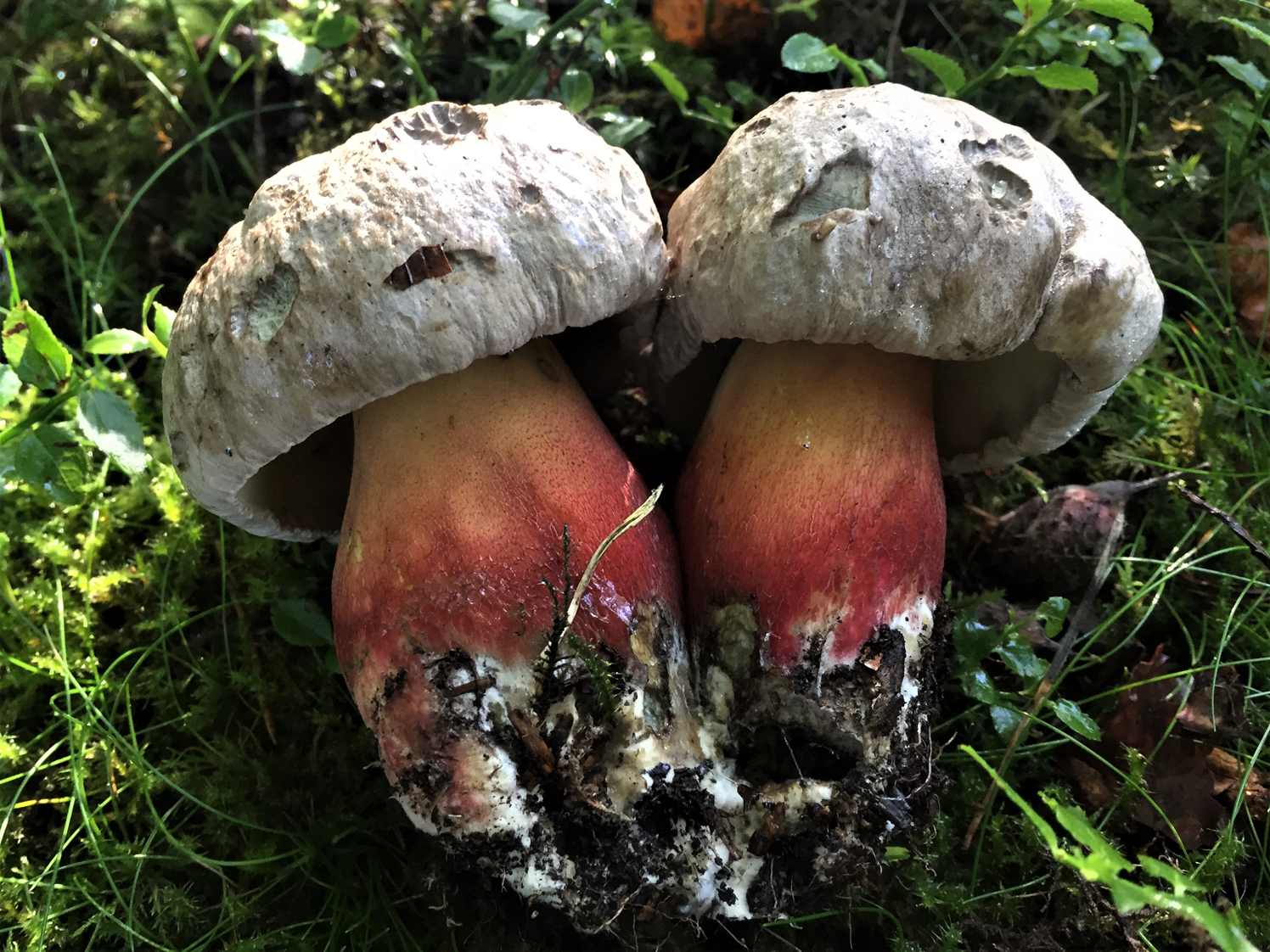 Bitter - mushroom edible or not