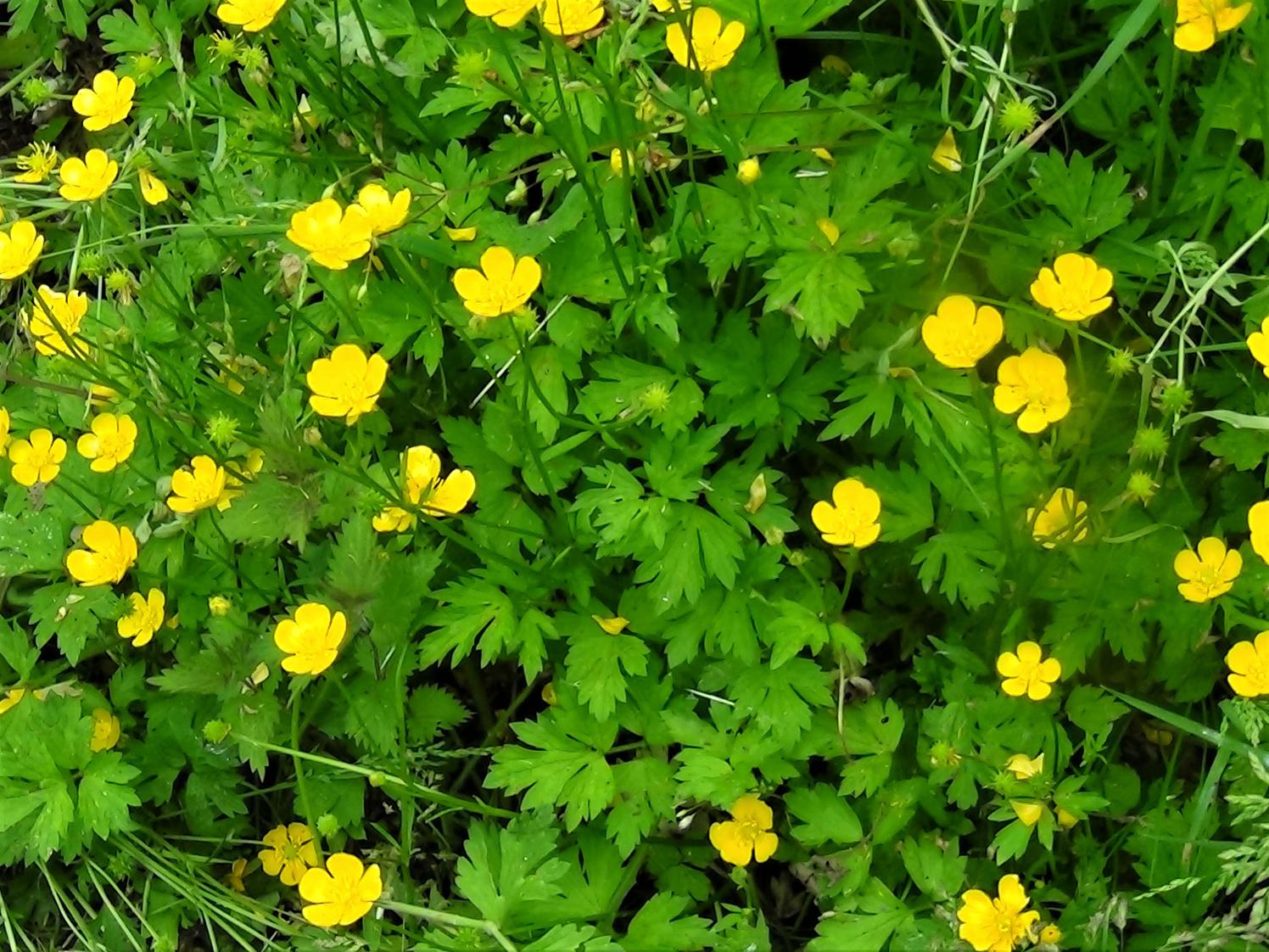 Buttercups, Ranunculus